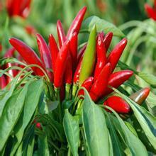Hot Sale Factory Supply diretamente Capsaicina 100% Natural