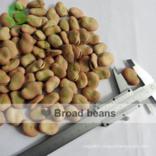 High Quality Broad Beans/ Fava Beans With Competitive Price 50-60