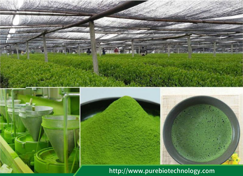 Certified Organic Matcha Green Tea Powder