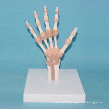 Modèle anatomique médical articulaire à main humaine avec ligament (R020915)