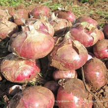 Fresh farm products yellow onion specification with seeds