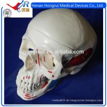 ISO Anatomie Schädel Modell mit Muskeln