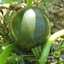 HSQ09 Gaoang ronde vert foncé F1 hybride courge / graines de courgettes