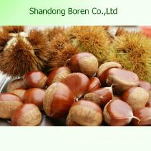 Органический свежий каштановый китайский свежий каштан