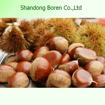 Organic Fresh Chestnut Chinese Fresh Chestnut