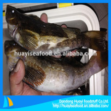 fresh frozen fat greenling fish