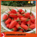Getrocknete chinesische rote organische Lycium sinensis Mühle