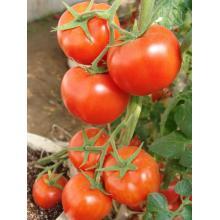 Sementes de tomates híbridos vermelhos de maturidade média-tardia