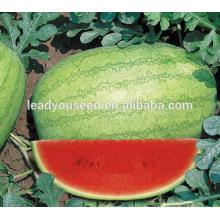Sementes híbridas redondas da melancia da maturidade meados de da maturidade de MW041 Baofeng para vendas