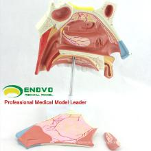 THROAT07 (12513) Anatomisches Modell der menschlichen Nasenkavität