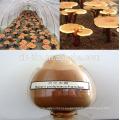 El mejor extracto orgánico herbario chino de la seta de Reishi