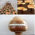 Best Chinese herbal Organic Reishi mushroom extract