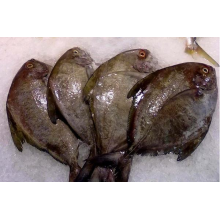 Sea Frozen Black pomfret Venta entera