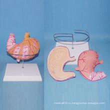 Анатомическая анатомия желудочной анатомии желудочной язвы (R100204)