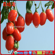What are goji berries used for bacche di goji lycium barbarum dried wolfberries