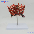 PNT-04152 human body model lobuli pulmonum Pulmonary Alveoli Model