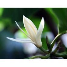 Huile essentielle de feuille de Michelia dans la chambre