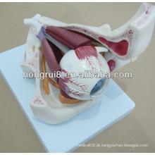Modelo de olho de plástico, modelo de olho anatômico com órbita