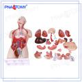 PNT-0300 tamaño de la vida 85cm dual-sexual espalda abierta modelo de torso humano