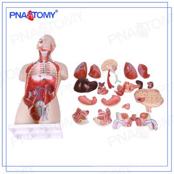 PNT-0300 grandeur nature 85cm bi-sexe modèle de torse humain dos ouvert