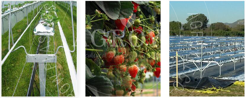 Table-top growing system strawberry growing systems