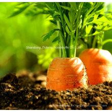 Zanahoria roja buena calidad chino