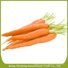 Zanahorias orgánicas al por mayor