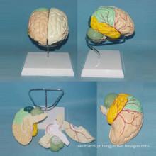 Modelo anatômico do cérebro etiquetado humano para demonstração (R050101)