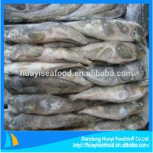 Gefrorenes Fett Greenling Fisch perfekt Lieferant und Exporteur