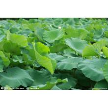 Extracto de hoja de loto / Nuciferina 2%