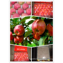 2015 Chinese Exporting Standard Red Star Apple