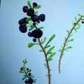 Big Black Kering Wolfberry