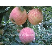 Récolte golden delicious apple hina fuji apple price