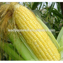 MCO06 Tian heat resistant golden-yellow sweet corn seeds for planting