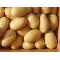 Pomme de terre fraiche de nouvelle saison 2015