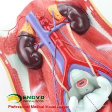 VENDRE 12426 Système urinaire humain bisexuel in situ, vessie mâle et femelle interchangeable