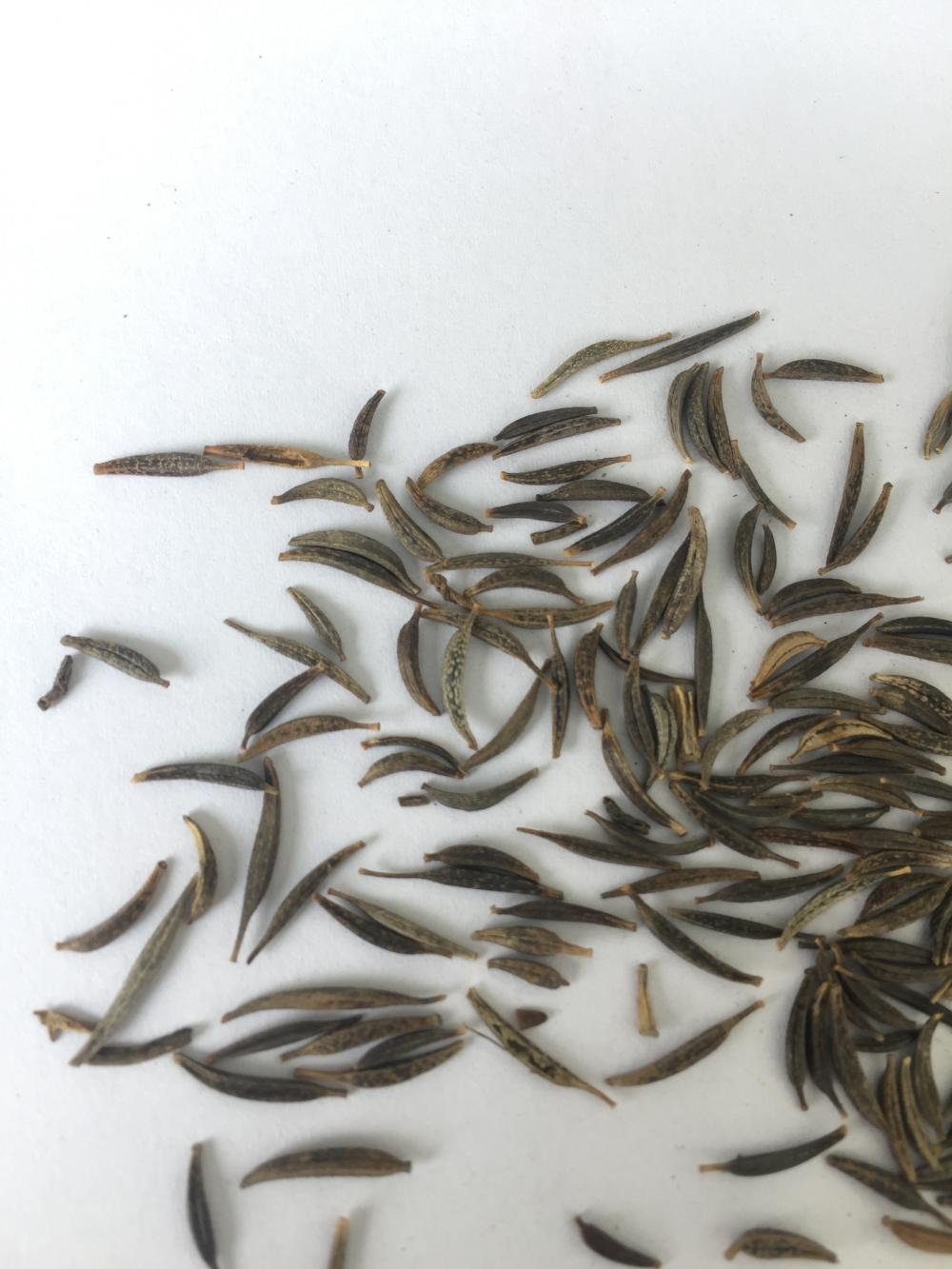 High germination tinctorial coreopsis seeds