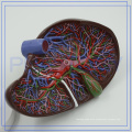 PNT-0472 Good Anatomy Training Human Liver Model for clinic