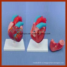 Анатомическая модель сердца с малым размером тела для медицинского обучения