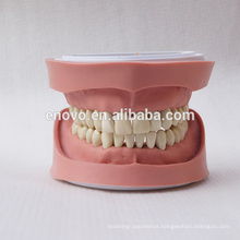 Standard K Type Removable Teeth Dental Anatomical Model 13004