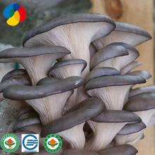 Hottest Sale  Oyster Mushroom Spawn