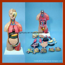 45cm Tall Halp Muscle and Half Skin Huamn Anatomy Torso Model (32 PCS)