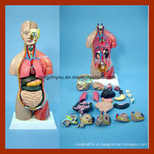 45cm Alto Halp Muscle e Half Skin Huamn Anatomia Torso Model (32 PCS)