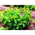 Natural de Sweetner / Alta Calidad / Stevioside / 90% / Stevia P. E