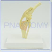 PNT-0877 modelo anatómico de disección de perro de alta calidad para la venta