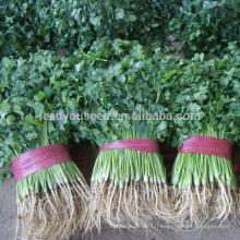CN01 Kuaida grandes feuilles résistant à la chaleur graines de coriandre prix
