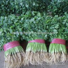 CN01 Kuaida grande folha resistente ao calor sementes de coentro preço