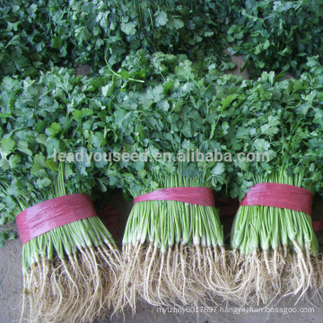 CN01 Kuaida large leaf heat resistant coriander seeds price