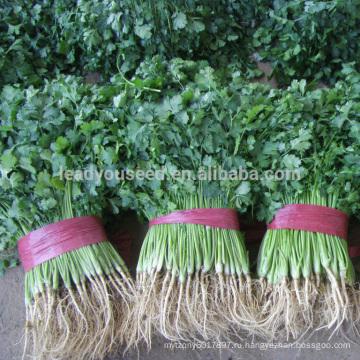 CN01 Kuaida большой лист теплостойкий семена кинзы цене