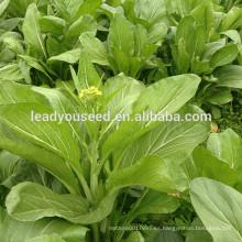 MPK21 Caixin hoja verde oscuro chino pakchoi semillas empresa